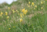 Cowslips in Hippenscombe